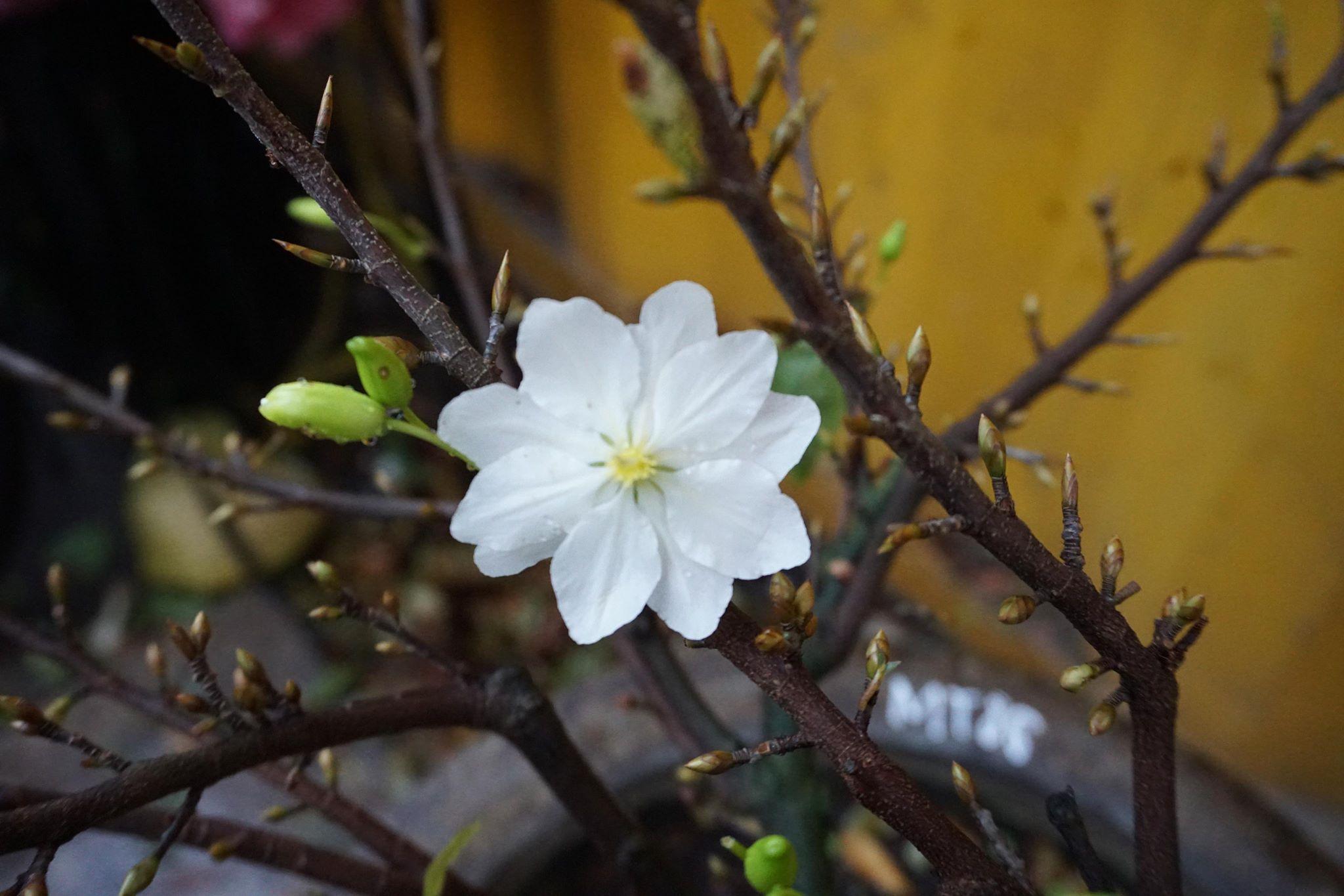 Hoa bạch mai 10 cánh. Một cây có thể có những hoa 10 cánh và những hoa có số cánh ít hơn. Không phải nụ hoa nào cũng có thể ra được 10 cánh