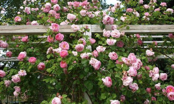 Cây hồng leo Mon Coeur - Hoàng Long Garden - Giống cây ...
