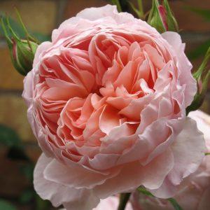Ảnh minh họa hoa hồng bụi William Morris