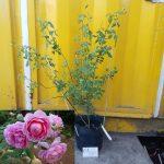Cây hồng leo Huntington - Cây 30-40