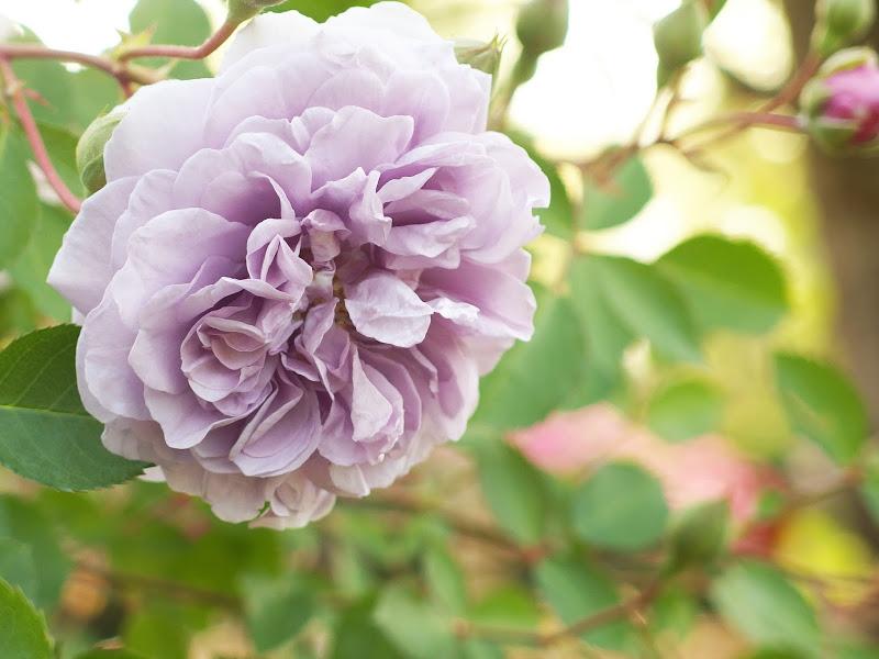 Hoa hồng Rainy Blue (Màu tím nhạt)
