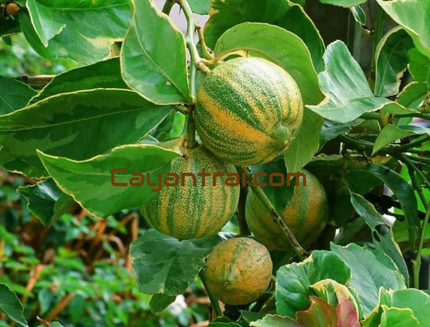 Trái chanh cẩm thạch