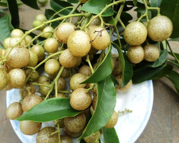 Trái mác mật