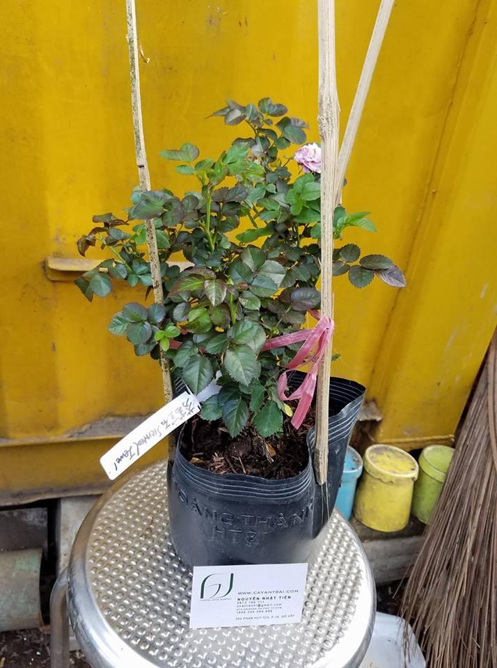 Ảnh mẫu cây giống hồng bụi Scented Jewel. Chụp 13/01/2018. Giá: 250.000/Cây