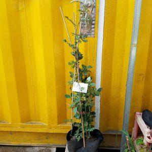 Ảnh mẫu cây hoa hồng leo Crown Princess Margareta. Chụp ngày 13/01/2018. Giá: 250.000/Cây
