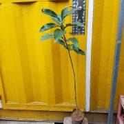 Ảnh mẫu cây giống bưởi đỏ Phúc Kiến. Chụp 12/01/2018. Giá: 150.000/Cây
