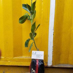 Ảnh mẫu cây bưởi lùn Tứ Xuyên. Chụp 12/01/2018. Giá: 150.000/Cây