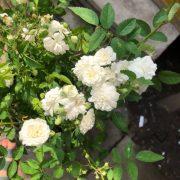 Hoa hồng bạch trà