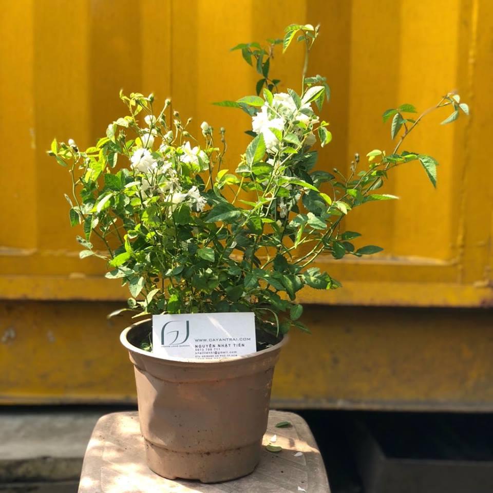 Ảnh mẫu cây hoa hồng bạch trà. Chụp 04/01/2018. Giá: 180.000/Cây