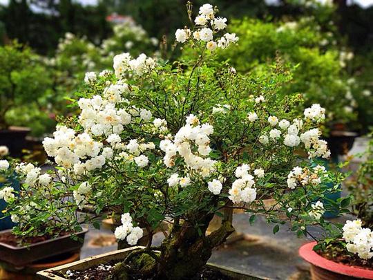Ảnh minh họa cây hoa hồng bạch trà Bonsai
