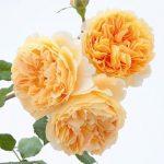 Hoa hồng leo Crown Princess Margareta