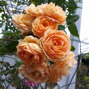 Ảnh hoa hồng leo Crown Princess Margareta chụp thưc tế (nguồn: google)