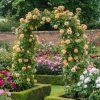 Cây hoa hồng leo Crown Princess Margareta (Ảnh sưu tầm từ nhà David Austin)