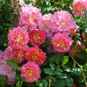 Hoa hồng bụi Christopher Marlowe (Christopher Marlowe)