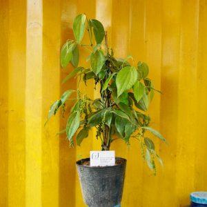 Ảnh mẫu cây giống tiêu cao sản Ngọc Linh. Chụp 06/02/18. Giá: 120.000/Cây