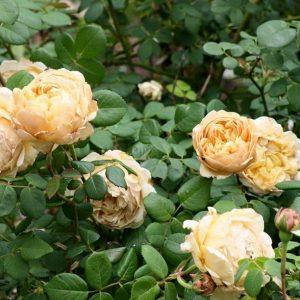 Cây hoa hồng leo Charles Drawin. Ảnh sưu tầm