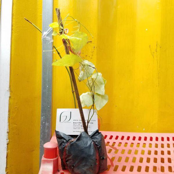 Ảnh mẫu cây giống sương sâm lông trồng từ hạt. Giá: 35.000/Cây. Chụp 18/03/18