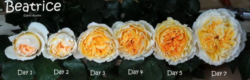 Ảnh minh họa hoa hồng Beatrice. Sưu tầm