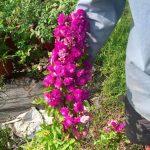 Hoa hồng Vinayard Song tuy nhỏ nhưng có khả năng ra hoa thành chuỗi rất dài