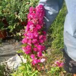 Hoa hồng Vineyard Song có hoa nhỏ nhưng chuỗi hoa rất dài
