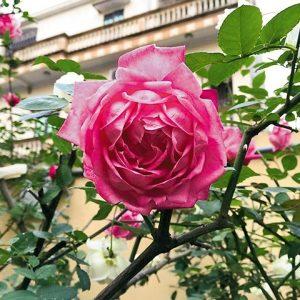Hoa hồng cổ Sapa. Ảnh sưu tầm