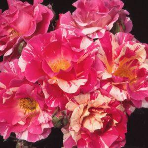 Hoa hồng leo Candy Land