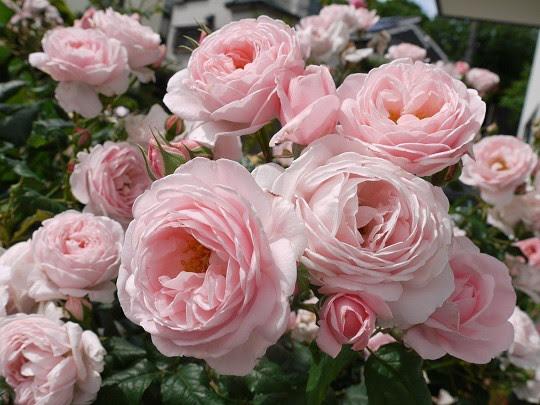 Hoa hồng leo Nahema