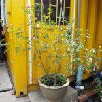 Ảnh mẫu cây hồng cổ sapa. Cao 1m4. Chụp 15/04/2018. Giá: 1.500.000/Cây
