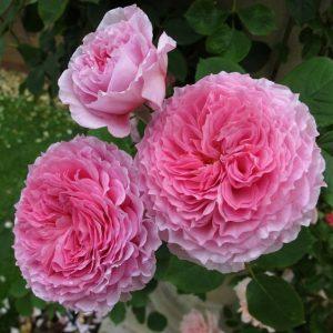 Hoa hồng leo James Galway