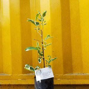 Ảnh mẫu cây ổi cẩm thạch. Chụp 2/3/18. Giá: 150.000/cây. Loại cây chiết nhánh