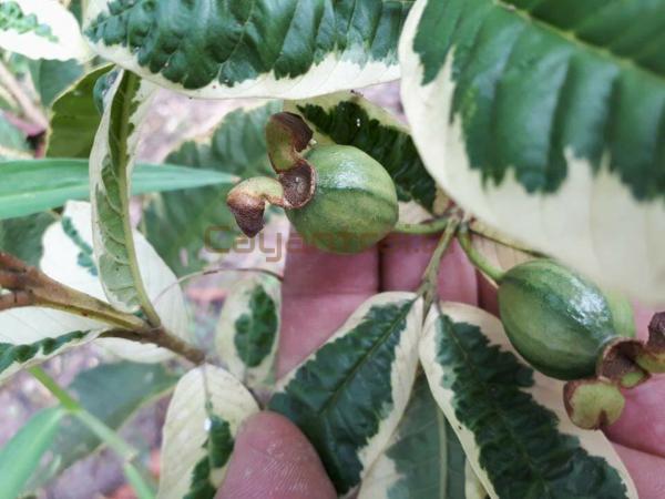 Lá và trái ổi cẩm thạch