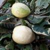 Trái ổi cẩm thạch
