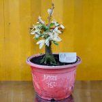 Cây hoa mai trắng (Bạch mai) - 17/04/18