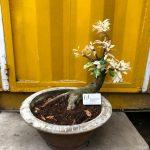 Cây hoa mai trắng (Bạch mai) - 29/04/18
