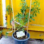 Cây hoa hồng bụi Vineyard Song - Cây cao >35 cm