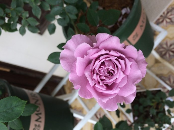 Hoa hồng bụi Lavender Crystal