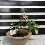Cây hoa mai trắng (Bạch mai) - 08/07/18