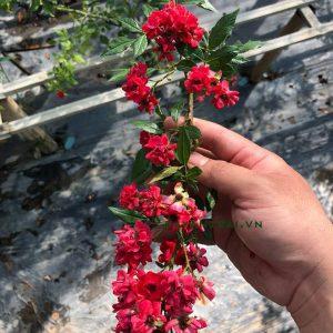 Hoa hồng leo Red fairy. Hồng Red Fairy có khả năng moc thành chuỗi dài tương tự như giống Vineyard Song