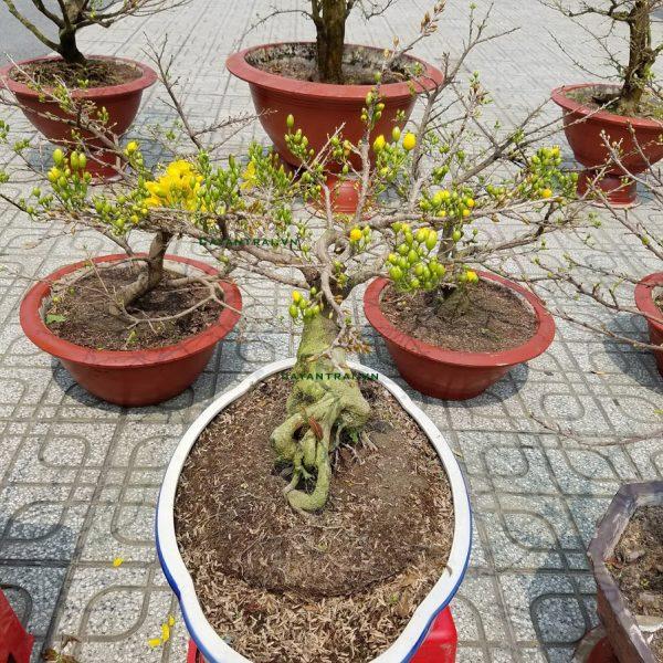 Ảnh mẫu một cây mai Đại Lộc trưởng thành, ra hoa và nụ thành từng chùm. Và tỷ lệ rụng nụ rất thấp. Cho nên khi nở hoa rất rực rỡ.