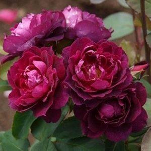 Hoa hồng leo Candinal Home