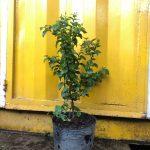 Cherry Surinam (Cherry khía) - Cây nhỏ