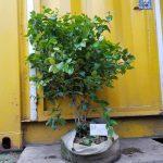Cherry Surinam (Cherry khía) - Cây 2 năm