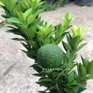 Trái quýt mỹ lùn khi còn non sẽ sần sùi, khi chín sẽ căng bóng hơn. Trái chín sẽ chuyển dần sang màu vàng. Độ lớn trái và vị ngọt không thua kém bất kỳ loại quýt nào.