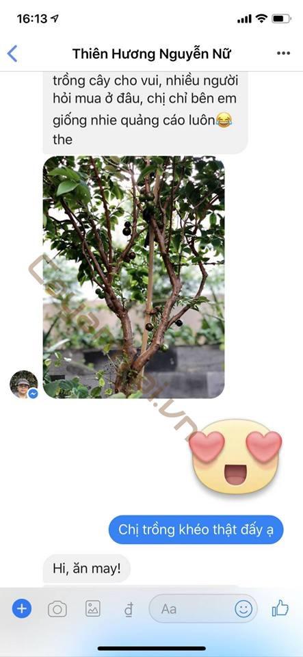 Phản hồi từ Khách hàng của Hoàng Long Garden. Cây trồng sau 3 tháng trong chậu đã có trái. Dạng cây 2 năm tuổi