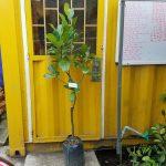 Cây mít thái siêu sớm (Mít chanrai da xanh) - cây cao 1m5
