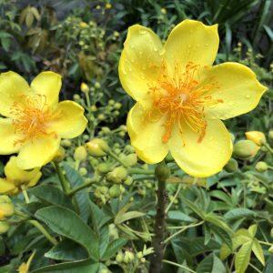 Mai hoa đăng (Có nơi gọi là mai Hà Lan)