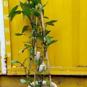 Cây dưa pepino tím