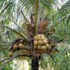 Dừa ẻo vàng (Dừa xiêm dây vàng)