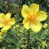 Mai hoa đăng