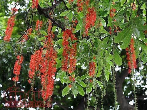 Ý nghĩa của cây Lộc Vừng